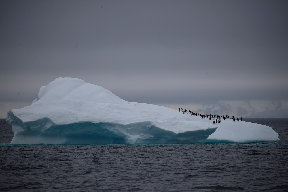 A group of chinstrap penguins walk on top of an iceberg floating near Lemaire Channel, Antarctica February 6, 2020. — Reuters pic